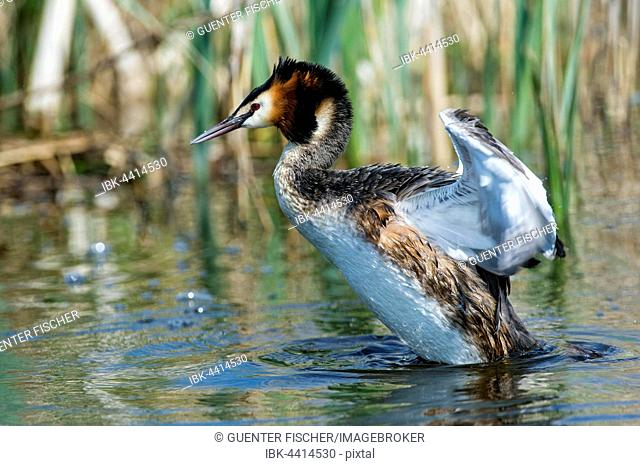 Great crested grebe (Podiceps cristatus) strikes water with wings, South Holland, The Netherlands