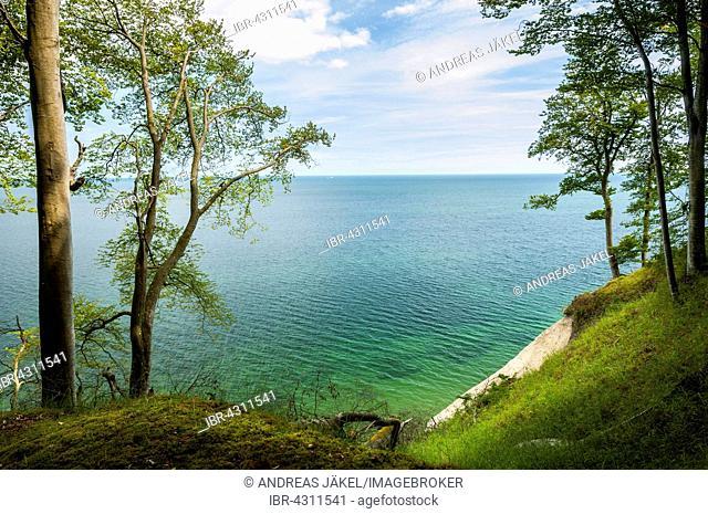 Chalk cliffs with beech grove (Fagus sylvatica), Baltic Sea, Jasmund National Park, Rügen, Mecklenburg-Vorpommern, Germany