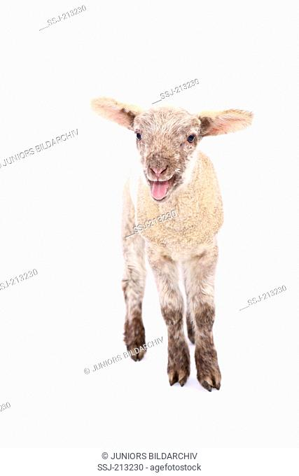 Domestic sheep. Lamb standing while bleating. Studio picture against a white background. Germany