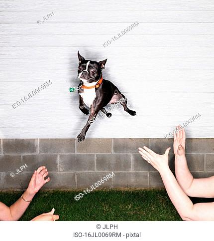 Boston Terrier leaping through air