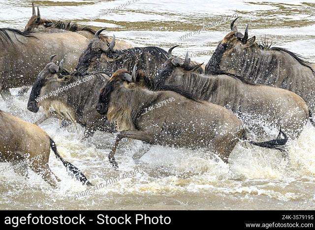 Blue wildebeest, brindled gnu (Connochaetes taurinus) crossing the Mara river during the great migration, Serengeti national park, Tanzania
