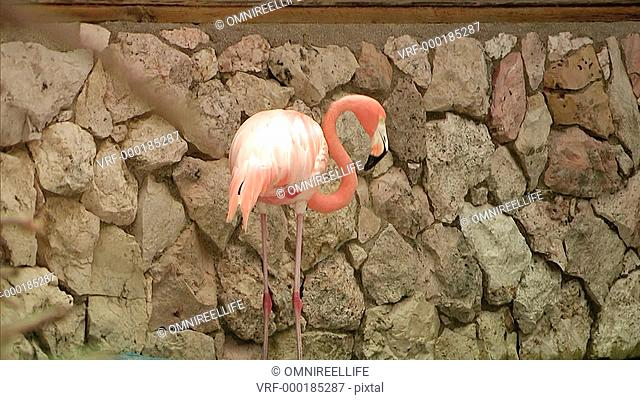 Close up of Flamingo grooming itself near rocks zoom in