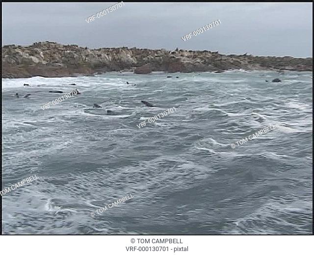 Cape Fur seals Arctocephalus pusillus porpoise in waves near colony. South African waters