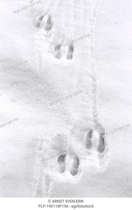 Chamois (Rupicapra rupicapra) close up of footprints in the snow in winter