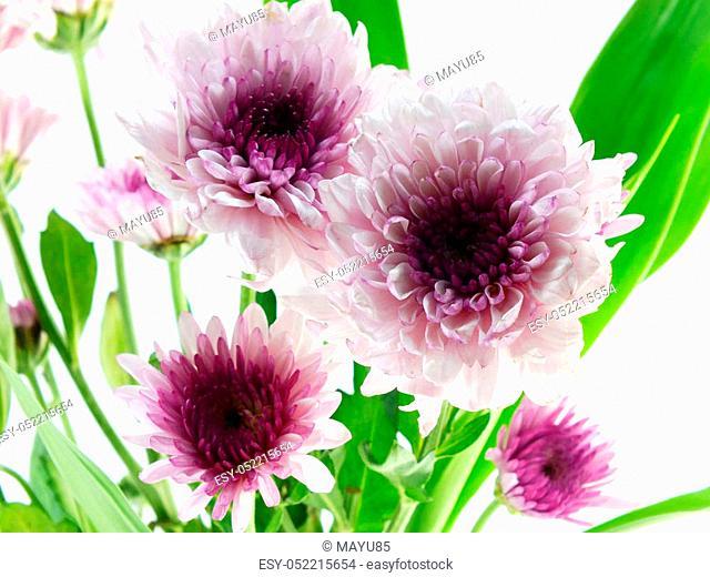 beautiful chrysanthemums pink flowers bouquet