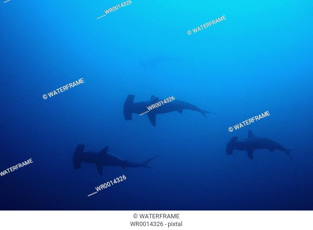 Hammerhead Sharks, Sphyrna lewini, Malpelo, Pacific Ocean, Columbia
