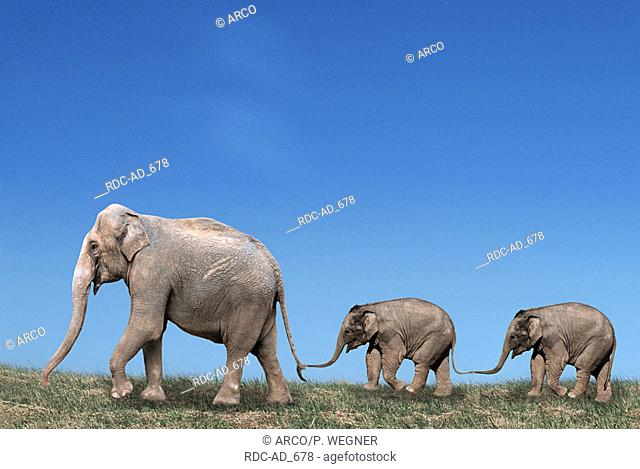 Asian Elephant with youngs Elephas maximus side