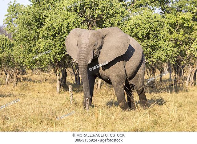 Africa, Southern Africa, Bostwana, Moremi National Park, African bush elephant or African savanna elephant (Loxodonta africana),