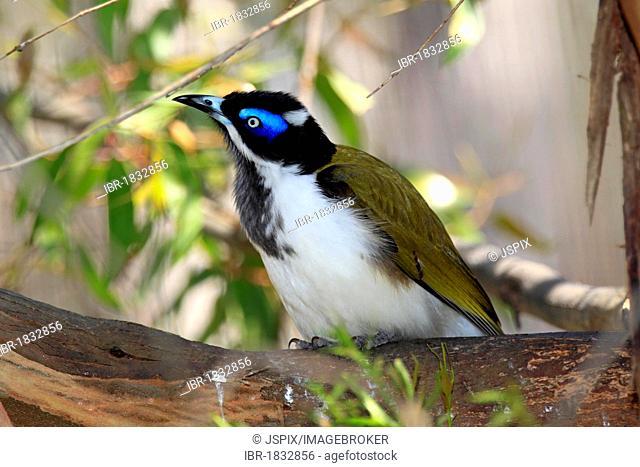 Blue -faced Honeyeater or Bananabird (Entomyzon cyanotis), Outback, Northern Territory, Australia