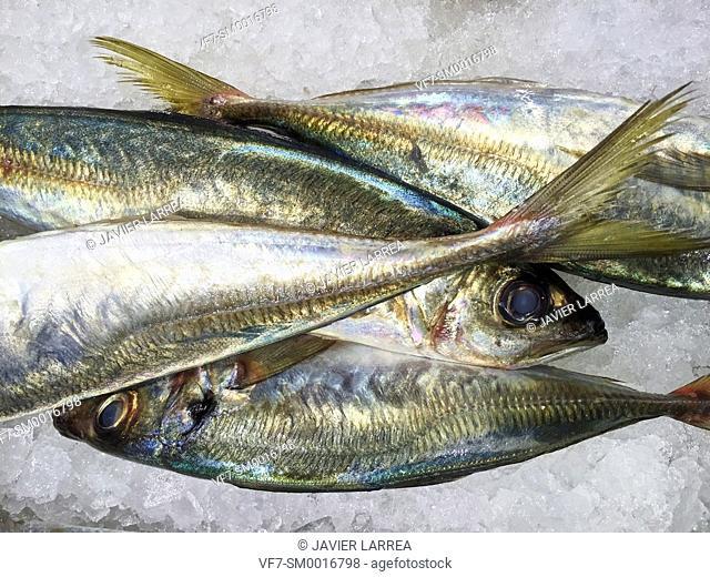 mackerel, fish shop