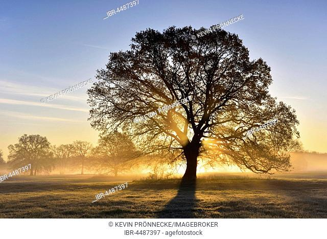 Solitary oak, English oak (Quercus robur) in the morning fog, sunrise, Middle Elbe Biosphere Reserve, Saxony-Anhalt, Germany