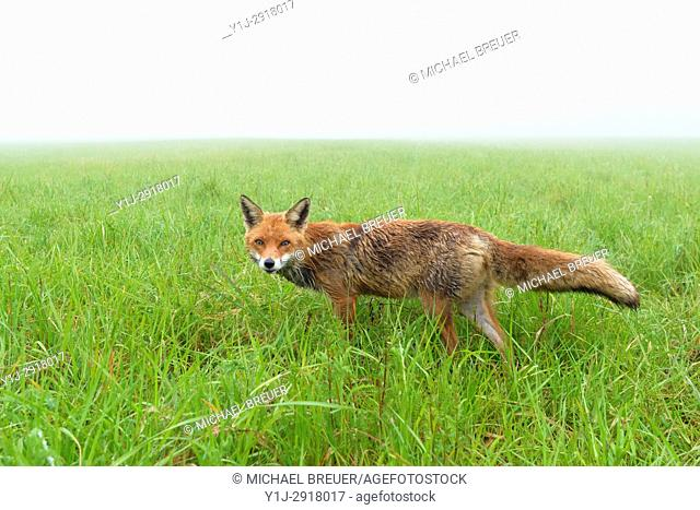 Red Fox (Vulpes vulpes) at foggy morning, Springtime, Hesse, Germany, Europe