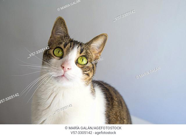Tabby and white cat looking up
