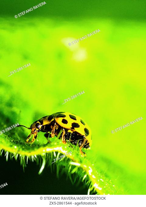 22-spot ladybird (Psyllobora vigintiduopunctata) - London, England