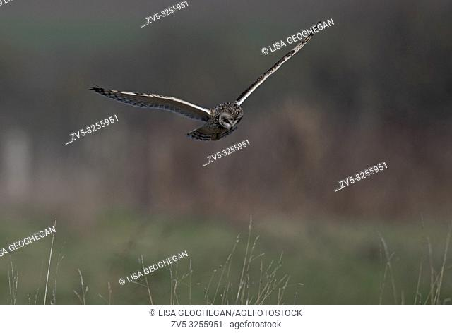 Short-eared Owl-Asio flammeus hovers. Winter. Uk