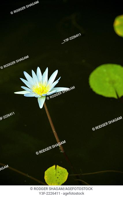 A water lily on a tall stem, creates a graphic, Japanese-like effect with the green lily pads and black water. South Africa