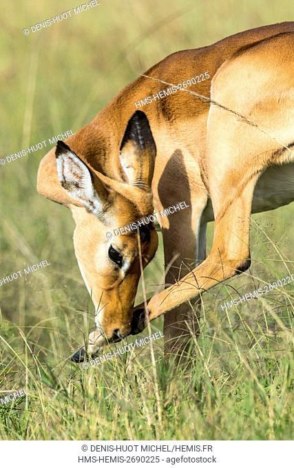 Kenya, Masai-Mara game reserve, Impala (Aepyceros melampus), cleanong itself
