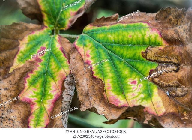 Leaves, Almansa, Albacete province, Castilla-La Mancha, Spain