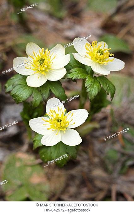 American Globeflowers