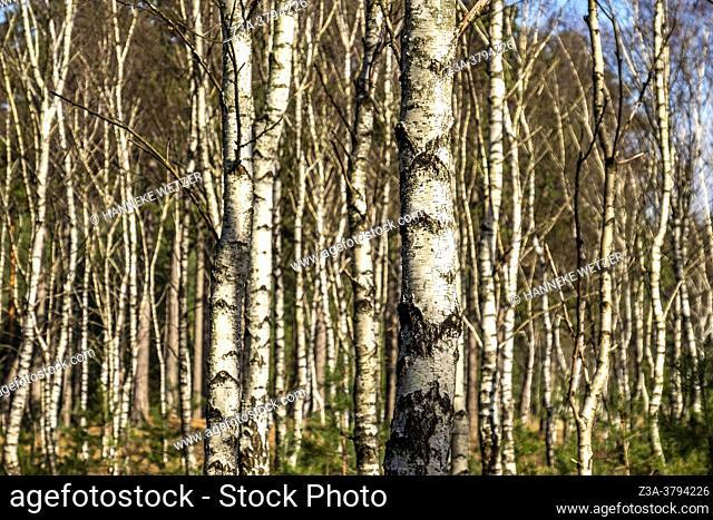 Dutch birch tree forest, The Netherlands, Europe