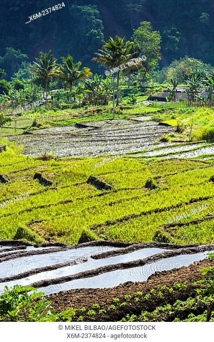 Rice fields in Kelimutu volcano side. Flores island. Indonesia, Asia