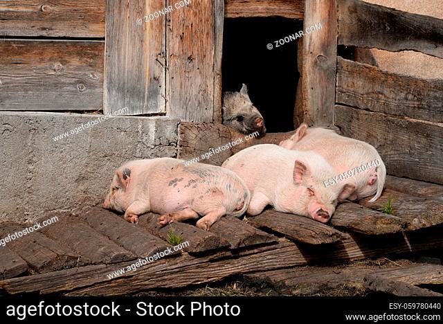 Schweine, schwein, hausschwein, hausschweine, nutztier, nutztiere, bauernhof, farm, landwirtschaft, haustier, haustiere, sus, sus scrofa, agrarindustrie