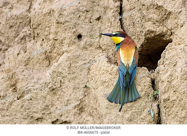 Bee-eater (Merops apiaster) at the breeding tube, Biosphere Reserve Danube Delta, Dobruja, Romania