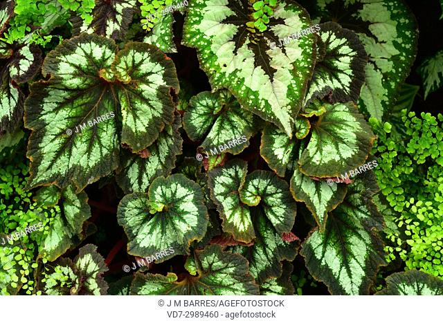 Begonia (Begonia rex Escargot) is an ornamental plant with very beautiful leaves