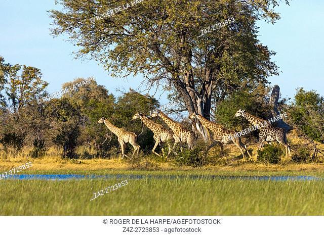 South African giraffe or Cape giraffe (Giraffa camelopardalis giraffa) running. Okavango Delta. Botswana