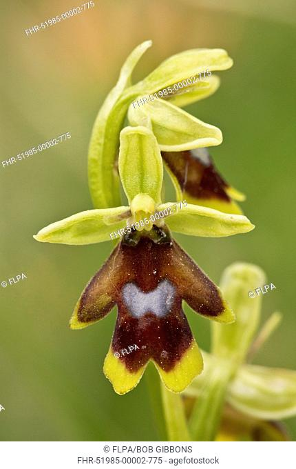 Aymonin's Orchid (Ophrys aymoninii) close-up of flower, Causses, Massif Central, Cevennes, France, May