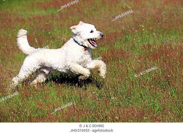Labradoodle, (Canis lupus familiaris), adult male running in meadow, Rhineland-Palatinate, Germany, Europe