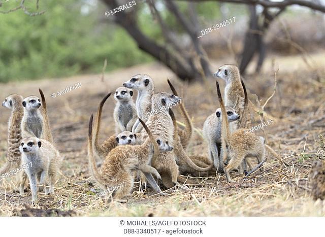 Africa, Southern Africa, Bostwana, Nxai pan national park, Meerkat or suricate (Suricata suricatta), adults and youngs