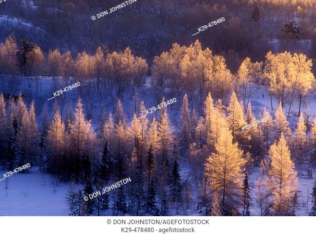 Frosted larch trees at sunrise. Lively. Ontario, Canada