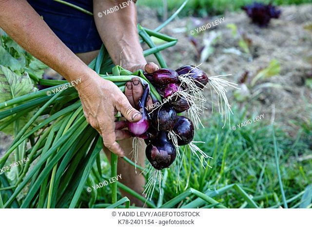 Woman picking onions at Kosters Trädgårdar, Koster Islands, Vastra Gotaland region, Sweden