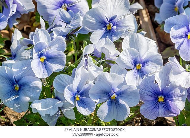 Blue Azur Large-Flowered Pansy / Viola x wittrockiana 'Blue Azur'