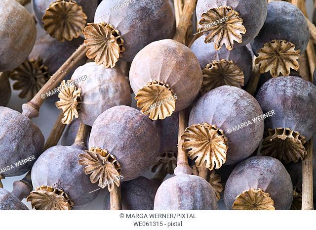 Opium poppy capsules (Papaver somniferum)