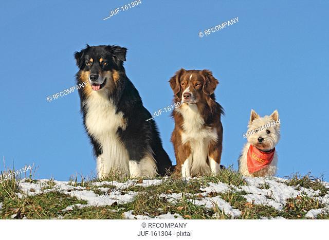 Australian Shepherd dog Minature Australian Shepherd dog and West Highland White Terrier dog - sitting