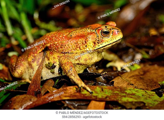 Asian common toad (Duttaphrynus melanostictus) in Cotigao, Goa, India