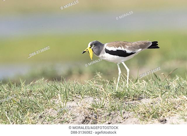 Africa, Southern Africa, Bostwana, Chobe i National Park, Chobe river, . African wattled lapwing (Vanellus senegallus), also known as the Senegal wattled plover...