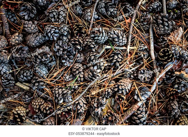 Forest ground covered with cones - Bunch of pine cones on the ground