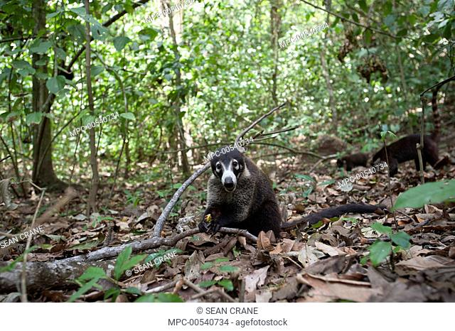 White-nosed Coati (Nasua narica) group foraging on forest floor, Corcovado National Park, Costa Rica
