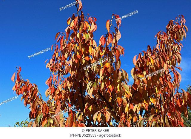 England Dorset Country garden Prunus Tai Haku (Great White Cherry) Autumn Foliage a rich gold in November sunshine