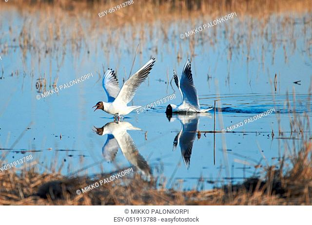 Two cheerful black headed gulls performing mating rituals above water on April evening in Espoo, Finland