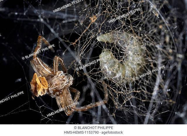 France, Araneae, Araneidae, European garden spider or Cross spider (Araneus diadematus), Larva of Ichneumonid (Hymenoptera), parasitoid of spider