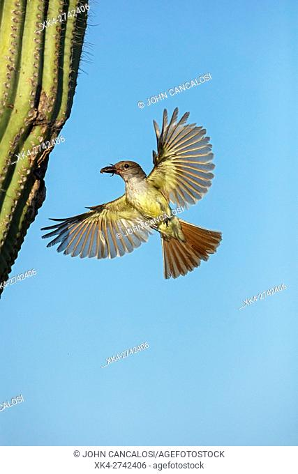 Ash-throated Flycatcher, Myiarchus cinerascens, Sonoran desert, Arizona, bringing food to nest in saguaro cactus