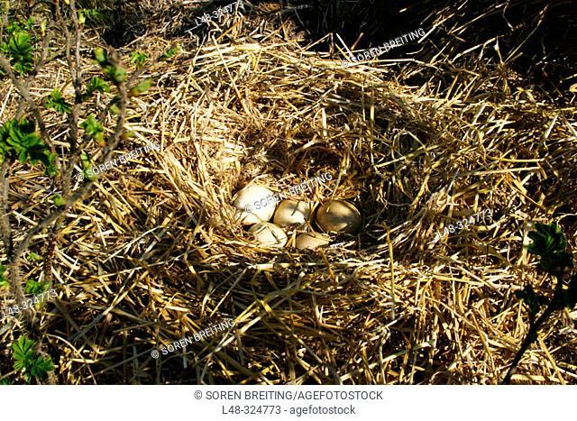 Goose's nest with 5 eggs of greylag goose (Anser anser)