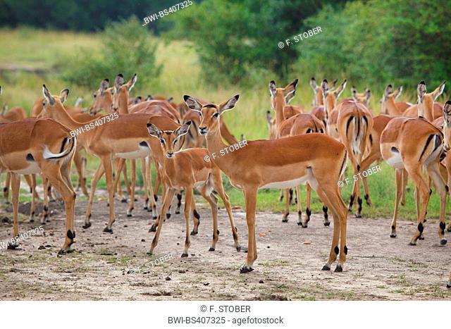 impala (Aepyceros melampus), herd of impalas, Zimbabwe, Mana Pools National Park