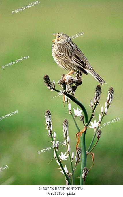 Corn bunting (Miliaria calandra) male singing from song post at top of Asphodel (Asphodelus) in Greece in springtime