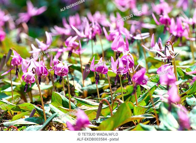 Dogtooth Violet flowers
