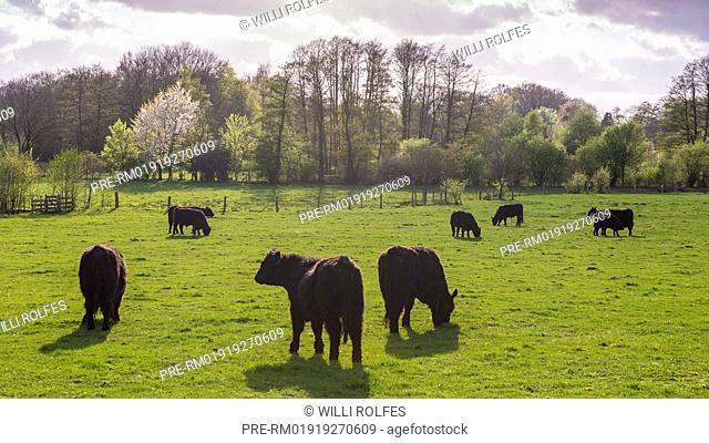 Black Galloway cattles on green pasture, Landkreis Vechta, Oldenburg Münsterland, Lower Saxony, Germany / Schwarze Galloway-Rinder auf grüner Weide